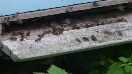 apiary : bee near entry to hive