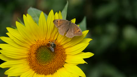 butterfly and bumble-bee on sunflower Vídeos
