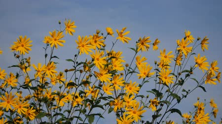 yellow flower heliopsis helianthoides on blue sky background