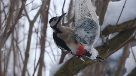 picidae : woodpecker