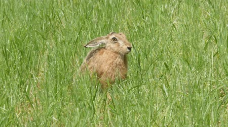 hare on the meadow Wideo