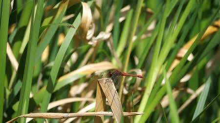 red dragon-fly on reed background