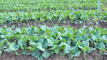 warzywa : Kale vegetable garden plan Wideo