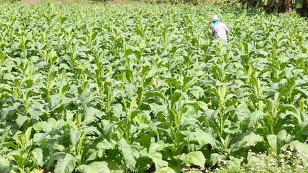 tabaco : Thai woman put Insecticide and fertilizer in tobacco plant Stock Footage