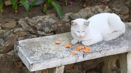 british cat : Thai white cat