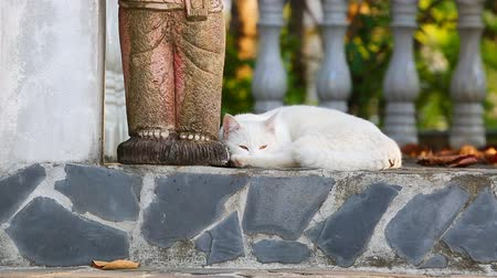 british cat : thai white cat sleeping Stock Footage