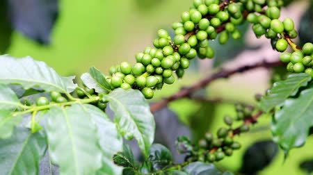 plantio : Coffee beans raw plantation