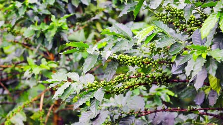 vagens : Coffee beans raw plantation