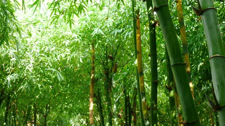 bamboo forest : Bamboo forest by slider footage shot Stock Footage