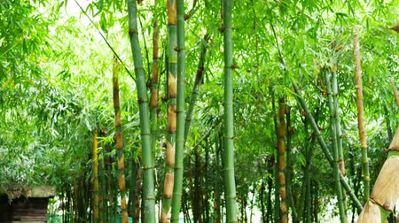 bambusz : Bamboo forest by slider footage shot Stock mozgókép