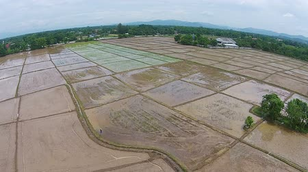 Aerial shot rice field view