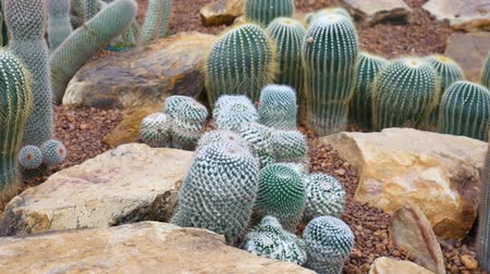Cactus on arid area