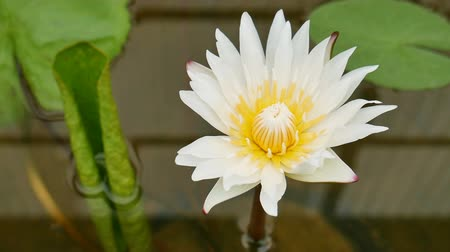 Lotus blossom flower in water