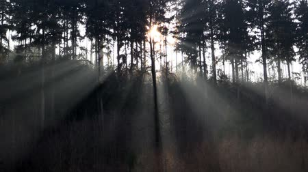 raios de sol : The sun and the suns rays in a pine forest
