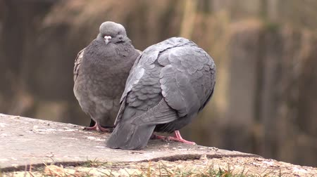 coo : The Two cooing pigeons Stock Footage