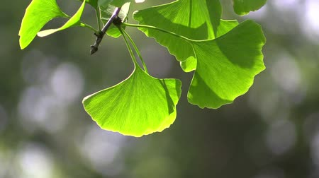 napfény : Ginkgo leaves in the forest in the sunlight