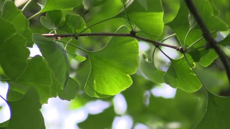ginkgo leaf : Ginkgo leaves in the forest in the sunlight