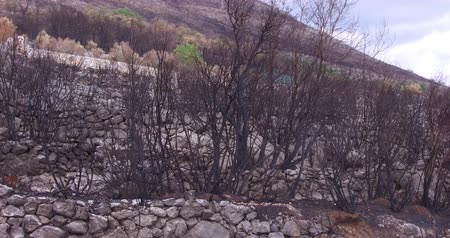 combusted : Forest wildfire an olive grove burned down. Consequences of forest fires for nature, the ashes of burnt trees.