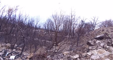aftermath : As a result of a forest wildfire an olive grove burned down. Consequences of forest fires for nature, the ashes of burnt trees.