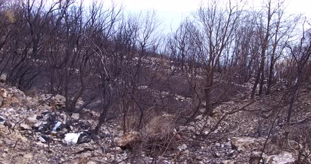 devastated : Forest wildfire an olive grove burned down. Consequences of forest fires for nature, the ashes of burnt trees.