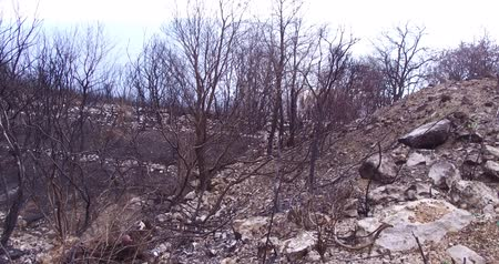 aftermath : Forest wildfire an olive grove burned down. Consequences of forest fires for nature, the ashes of burnt trees.