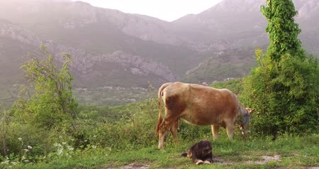 vemeno : Cow in the spring before sunset. Shepherd dog accompanies a cow in the pasture. There is a young green grass in the meadow. Mountains covered in forest