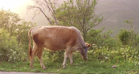 düve : Cow in the spring before sunset. There is a young green grass in the meadow. Mountains covered in forest Stok Video