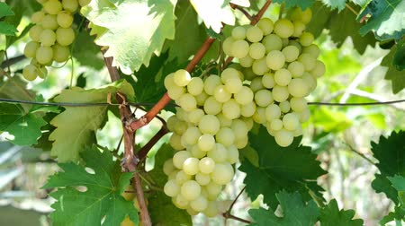 szőlőművelés : Bunches of grapes in a farm garden Stock mozgókép