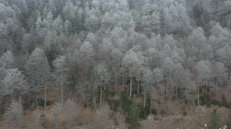 Drone rises and flies over the winter forest that covers the mountains. Branches of fir and pine trees are covered with snow Stok Video