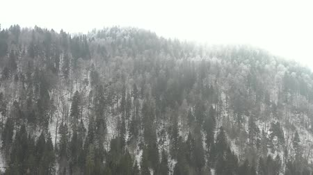 Drone rises and flies over the winter forest that covers the mountains, and narrow winding mountain roads where cars are driving. Branches of fir and pine trees are covered with snow