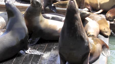 descobrir : Group of California Sea Lions sun bathing on the floating docks in San Francisco Stock Footage
