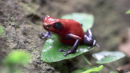 toad : close up of a strawberry poison dart frog in the rain forest in Costa Rica Stock Footage