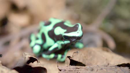 žába : close up of a green and black poison dart frog in the Costa Rican rainforest