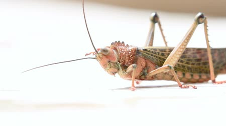 close up of a giant tropical grasshopper standing on white concrete at the edge of a pool in Costa Rica Stock mozgókép