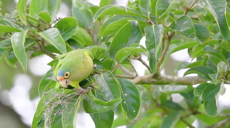 Orange fronted parakeet perched on a tree branch eating berries in Guanacaste Costa Rica Stock mozgókép