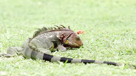 Large green spiny tail iguana in Costa Rica