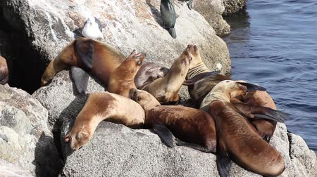 cachorro : Wild Sea Lions Argue as Others Nearby Sleep