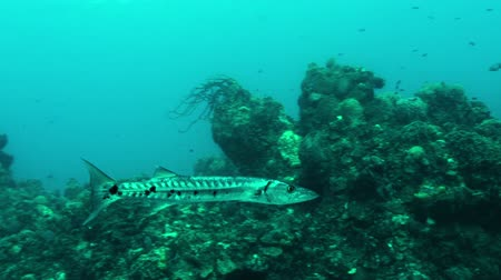 prowl : Barracuda passes over coral