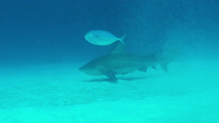 on the prowl : Bull Shark prowls seafloor with small fish in foreground Stock Footage