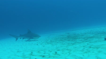 prowl : Bull Shark prowls seafloor Stock Footage