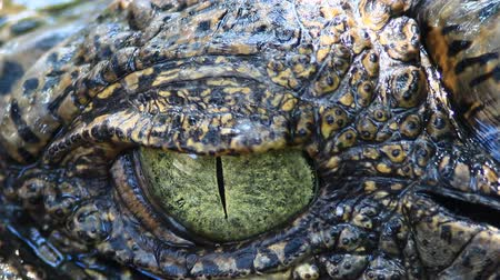 hüllő : Siamese Crocodile eye