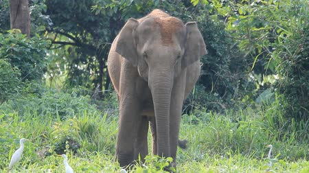 fil : asian elephant