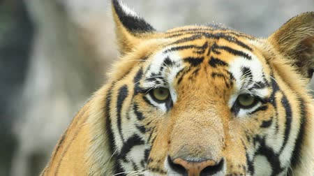 tigris : Tiger Close Up