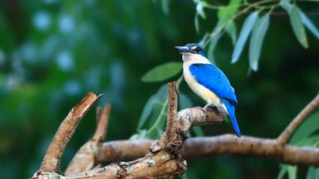 white collared kingfisher : Collared Kingfisher