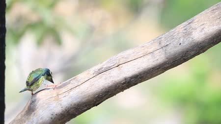 coppersmith barbet : Coppersmith barbet
