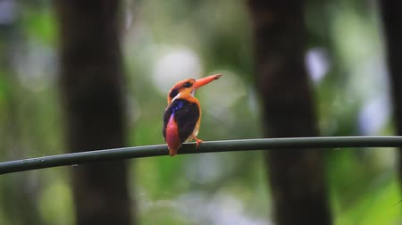 martin pescatore : Black-backed Kingfisher o tridattilo Kingfisher
