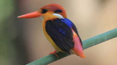 en az : Black-backed Kingfisher or Three-toed Kingfisher Stok Video