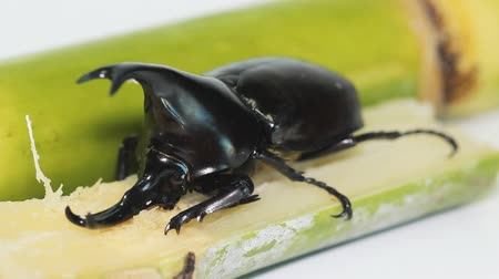 stag beetle : fighting beetle eating sugar cane
