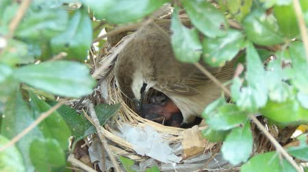 fészek : Yellowvented Bulbul feeding baby birds in nest