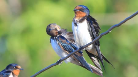 bird family : barn swallow Stock Footage